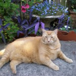 Ginger, our diabetic cat