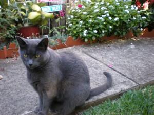 Smokey Jo is our eldest cat, a Russian Blue